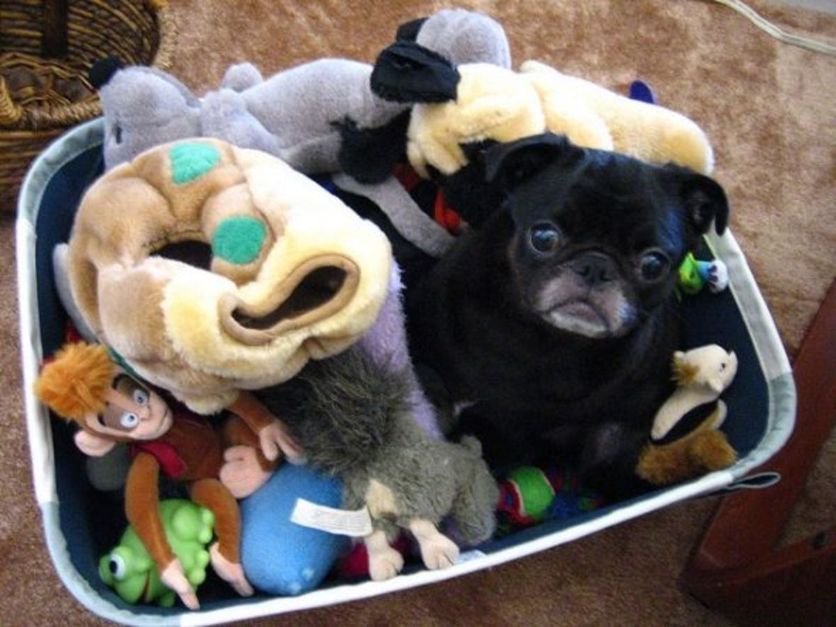 Pug dog in toybox -  Just another toy!