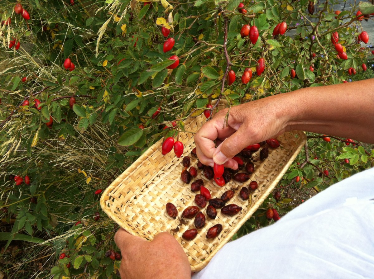 Picking the hips off the bush (late September)