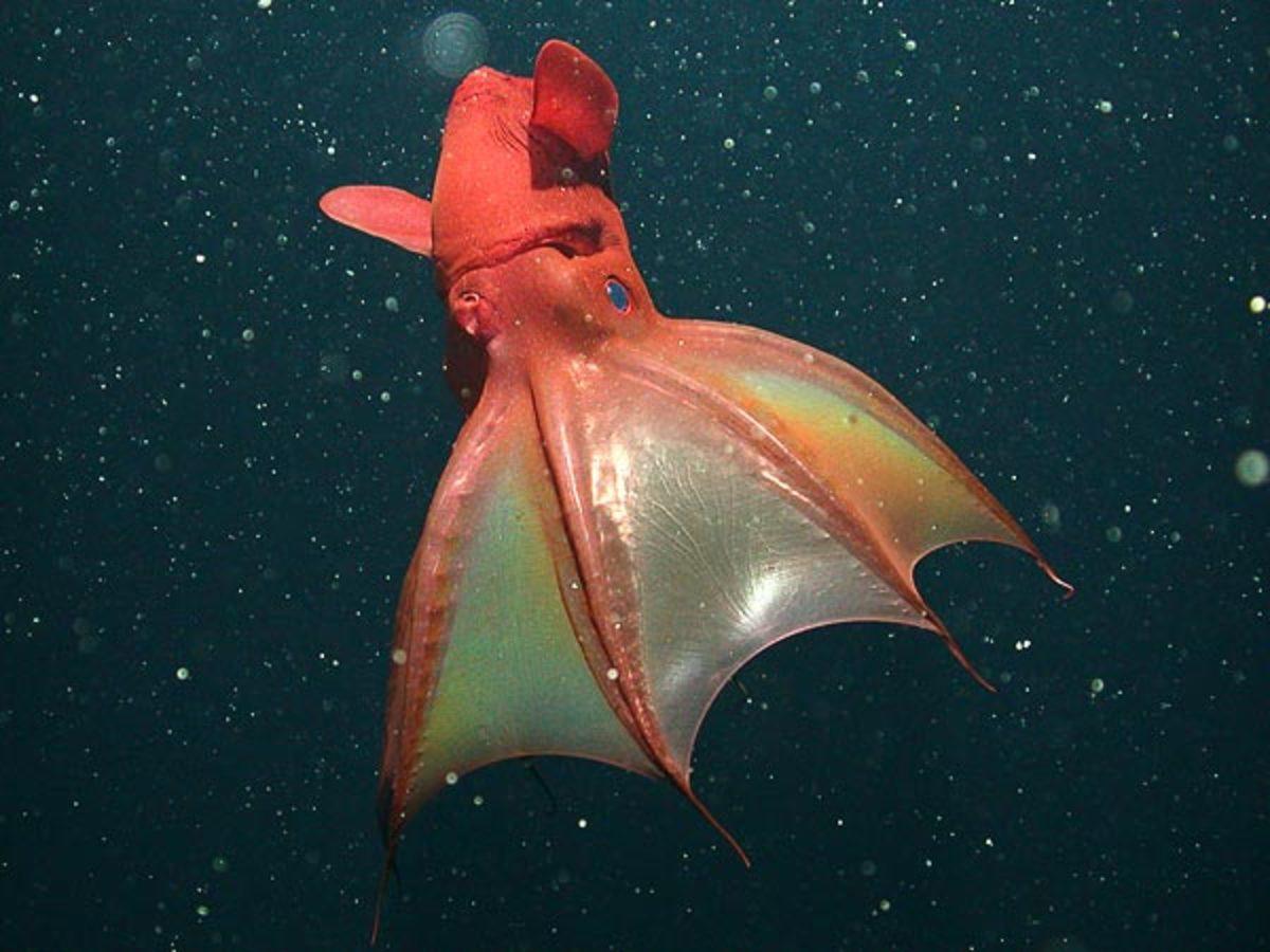 Unusual Sea Creatures: Vampiric Squid (The Vampire Squid Of Hell)