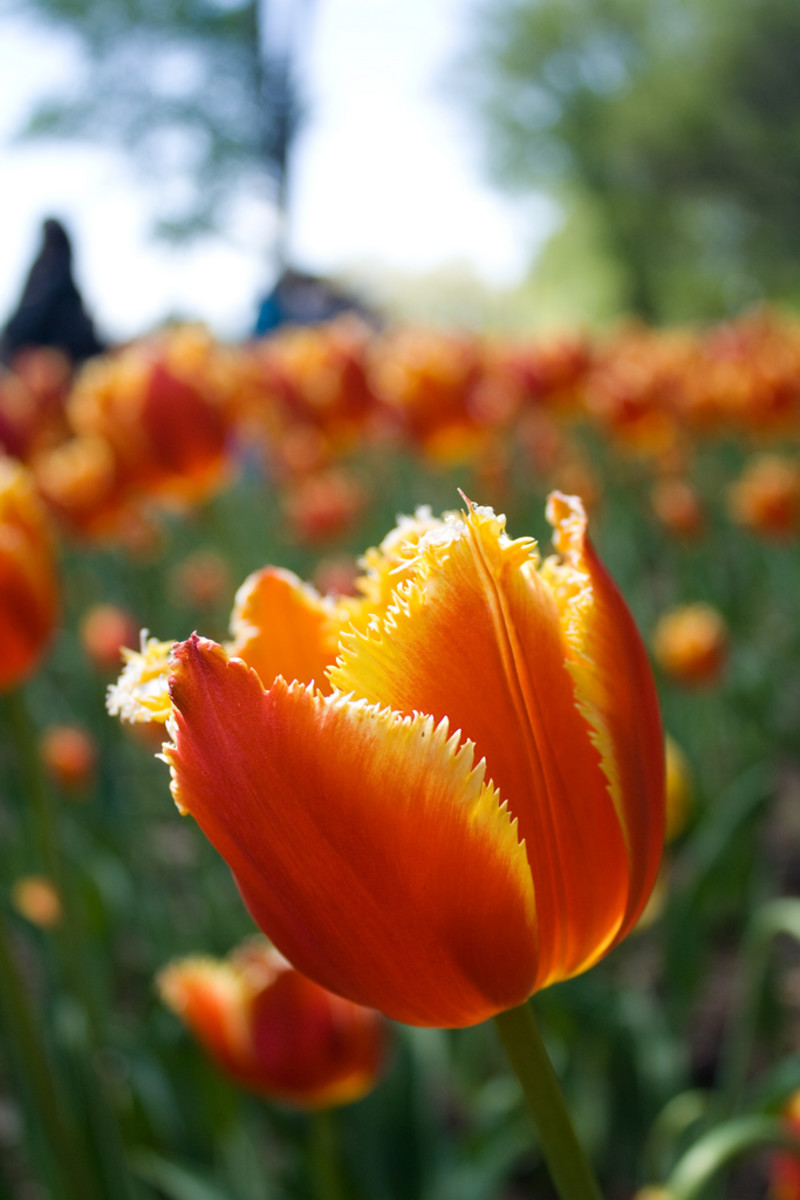 what-are-heirloom-flower-bulbs