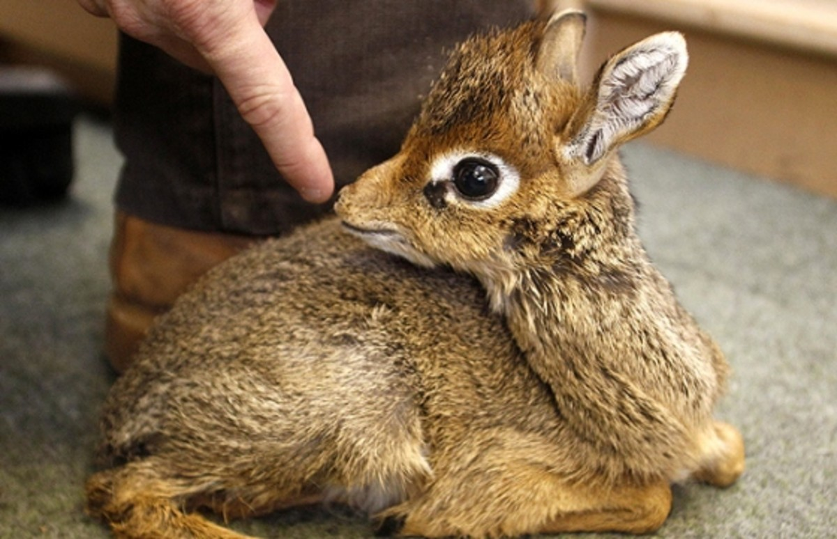 This baby Kirk's dik-dik was born at the Chester zoo in England in 2010, and was hand-reared by zoo keepers.