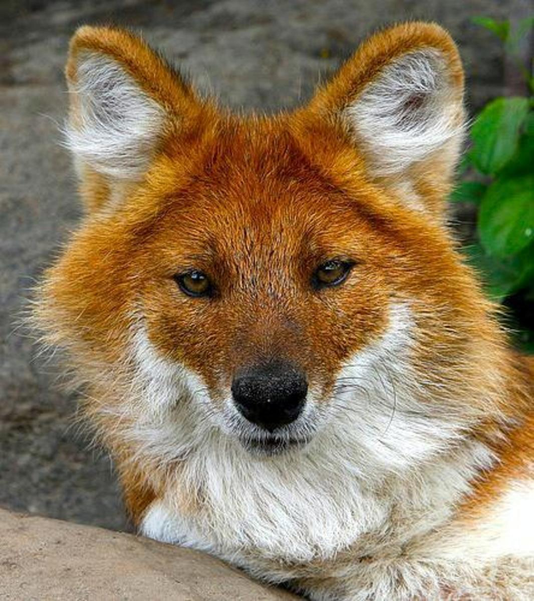 During the winter, dholes grow a fluffier coat, which is brighter orange with white on the underside.