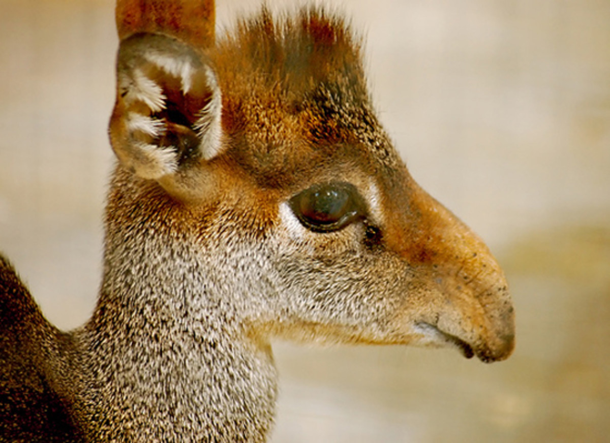 The probiscus-like nose of the dik-dik acts as a cooling system, an interesting adaptation used to cope in this animal's hot, arid land.