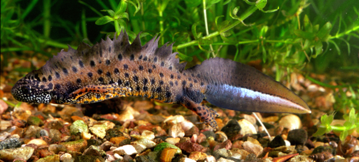 At around 7 inches in length, crested newts are a decent size and make good pets.