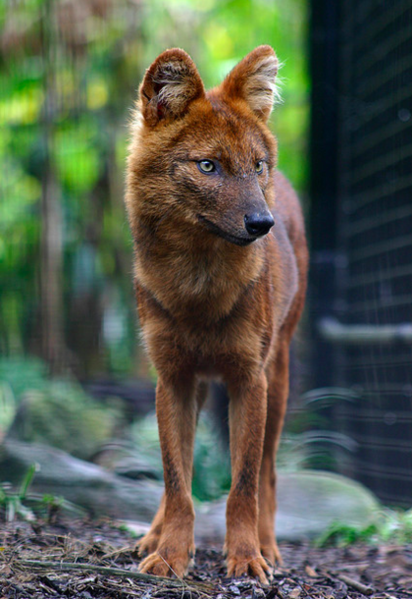 In the summer the dhole reverts to his darker, sleeker coat.
