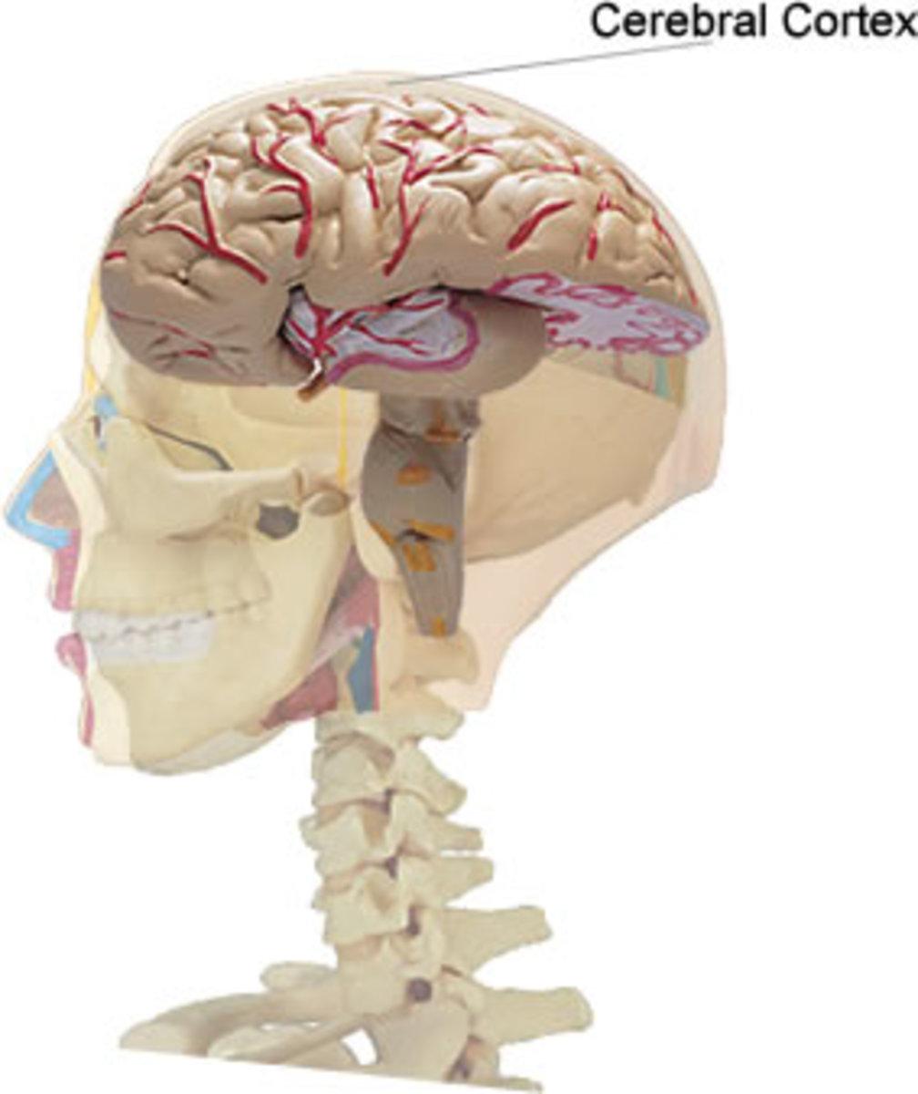 mcqs brain cerebral cortex