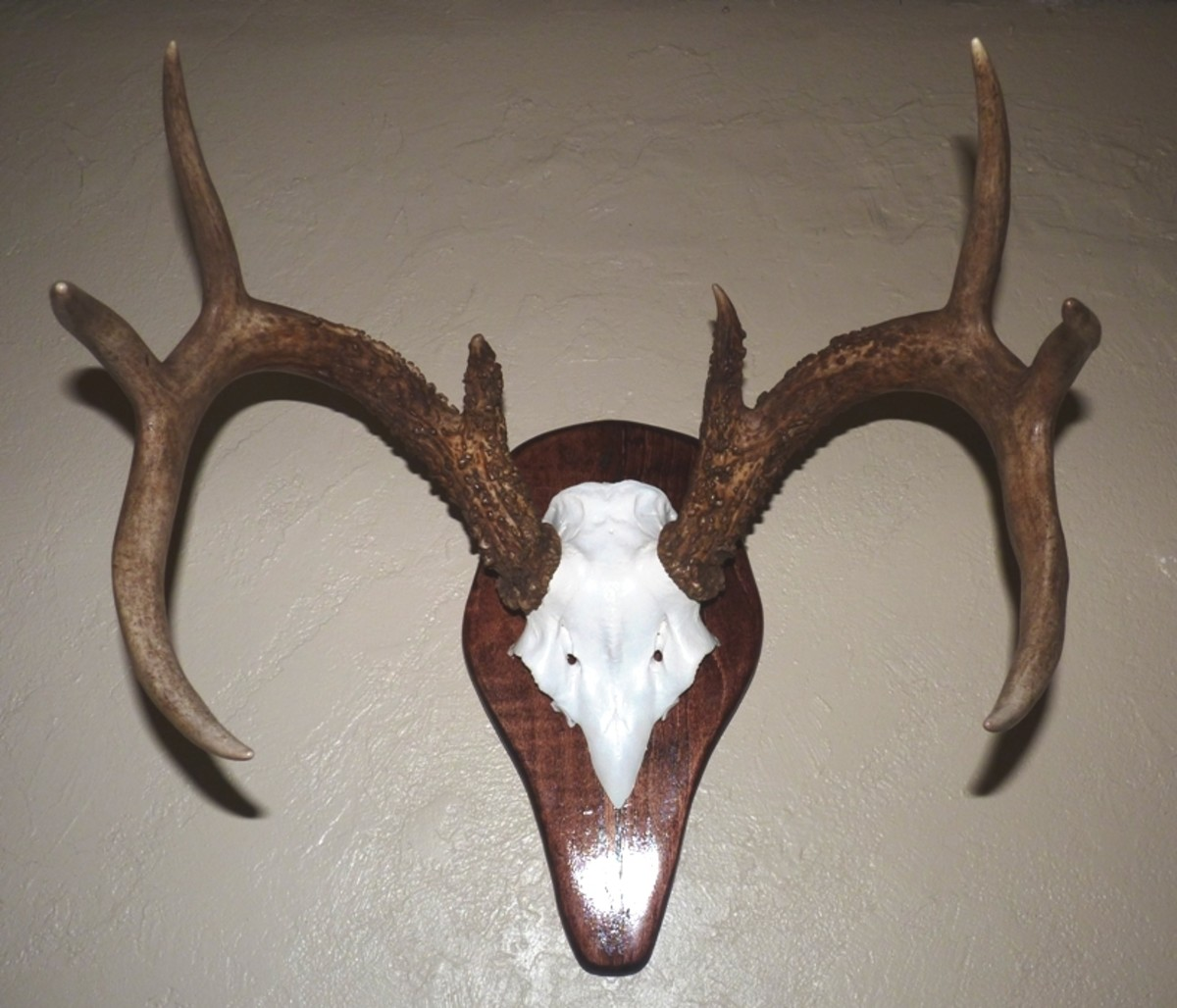 Whitetail European Style Skull Mount: The Basics
