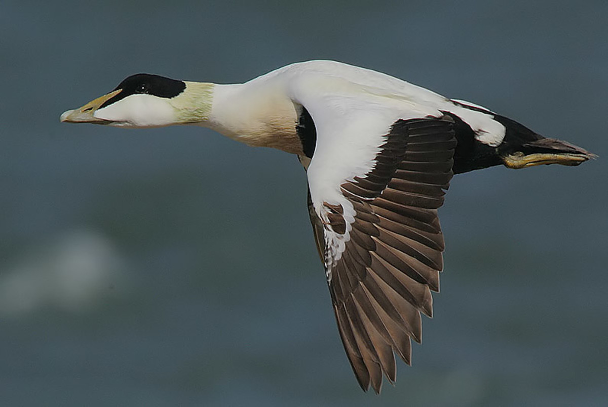 In flight, the drake shows his black rump tail and flight feathers, with the rest of the body white.