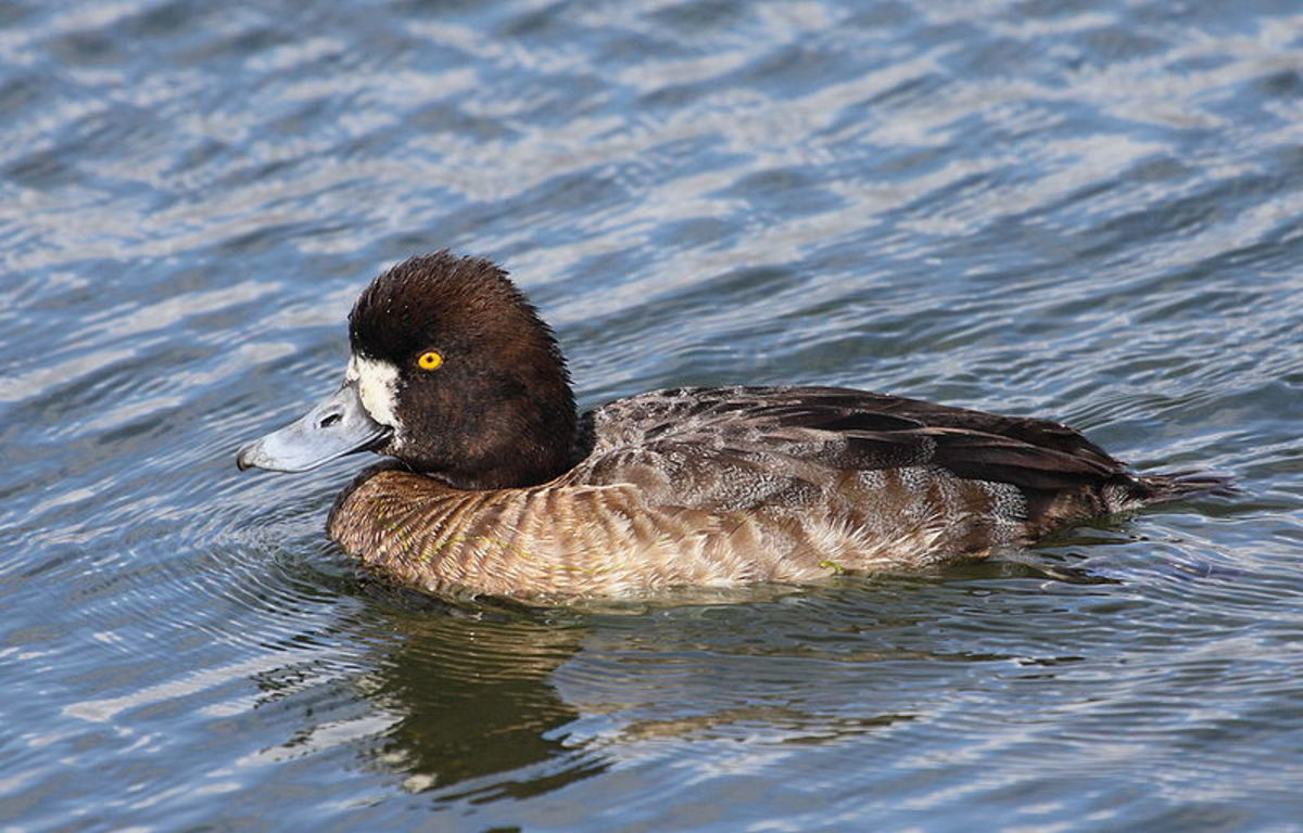 The female has a brown head and upper parts. A large white patch at the base of the bill distinguishes it from the tufted duck.