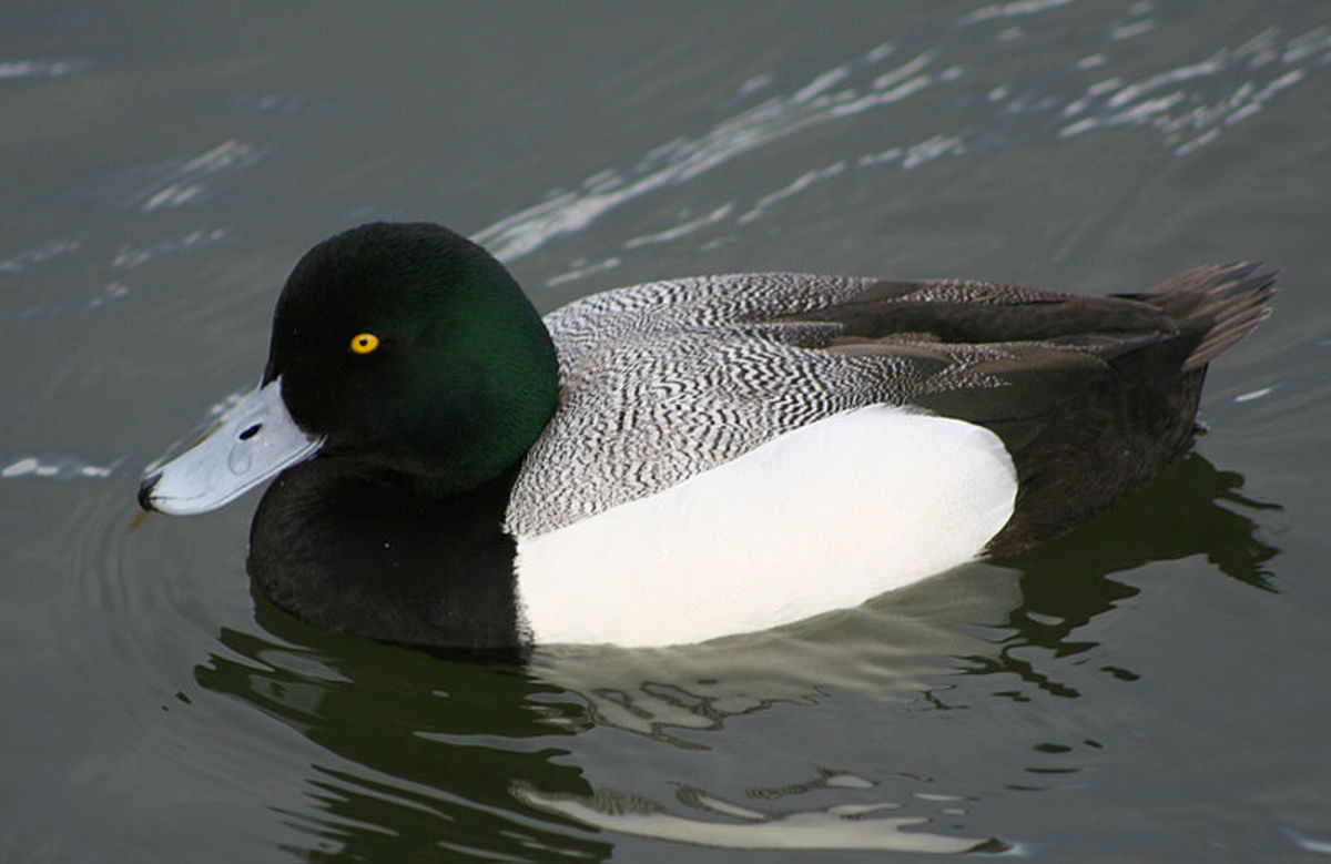 The male has a blackish head and breast, with white underparts and a grey bill like the tufted duck , but is distinguished by a pale grey back and the lack of a crest.