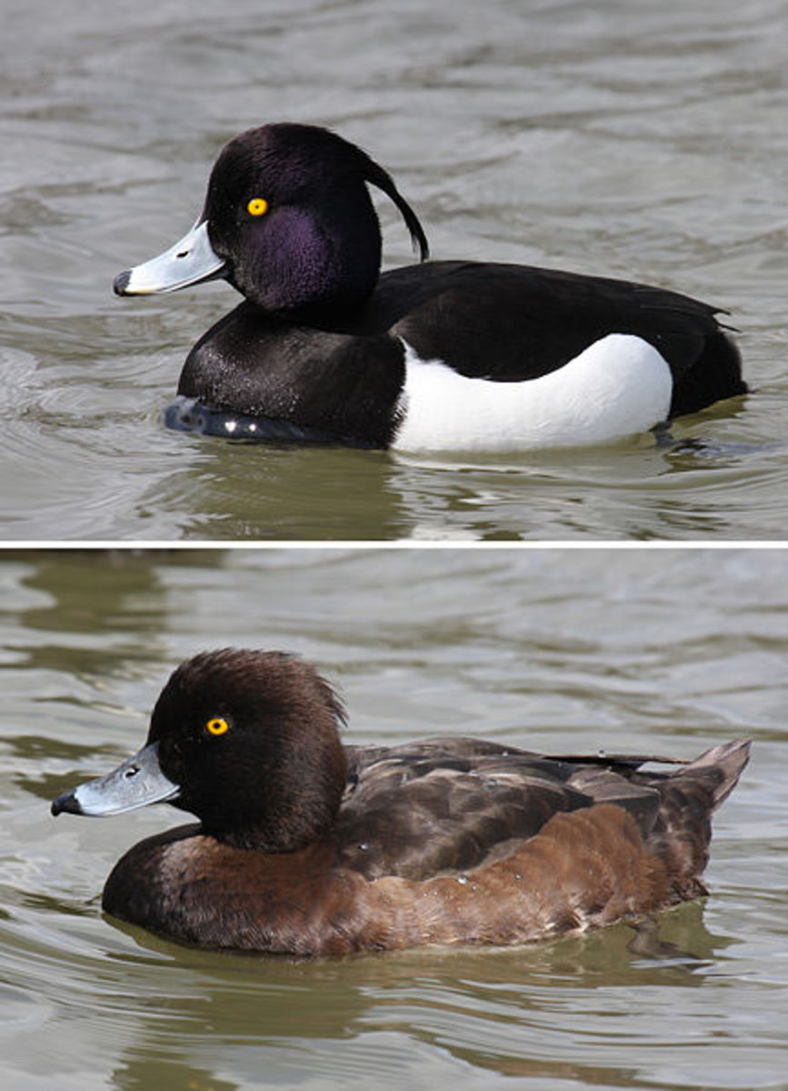 The drake (above) can be recognised by his snow white flanks and white bar on the upper side of the wing. The head shows purplish gloss. The duck (below) is dull brown and has no tuft.
