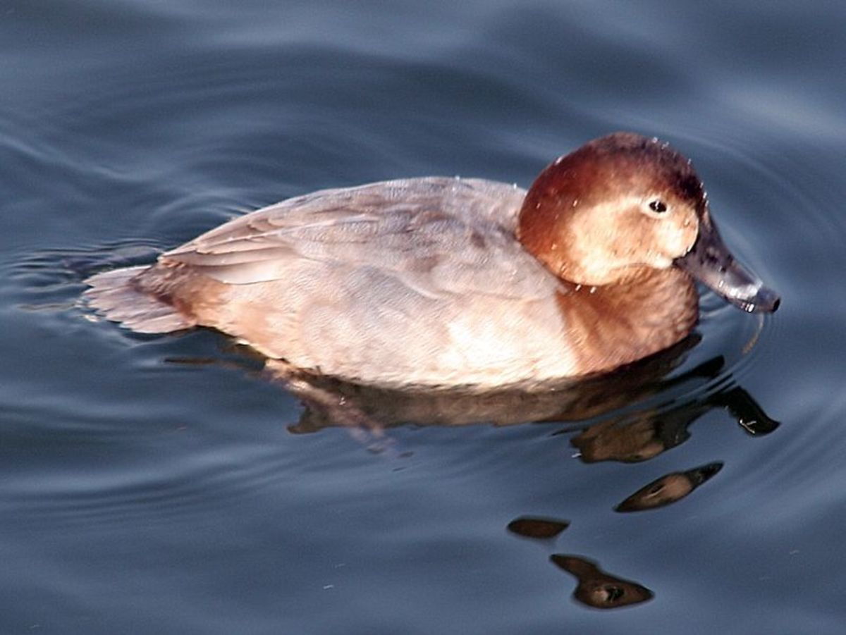 The duck is dull brown with pale face markings and light streaks on her backs and flanks.