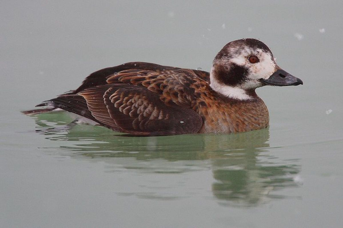 The female can be identified through her dark cheek patches and the lack of tail streamers.