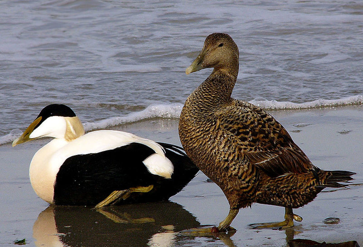 The drake has a black cap and belly, the rest of his plumage appears white, but at close quarters reveals a pinkish breast and a green nape. The female is mottled brown.