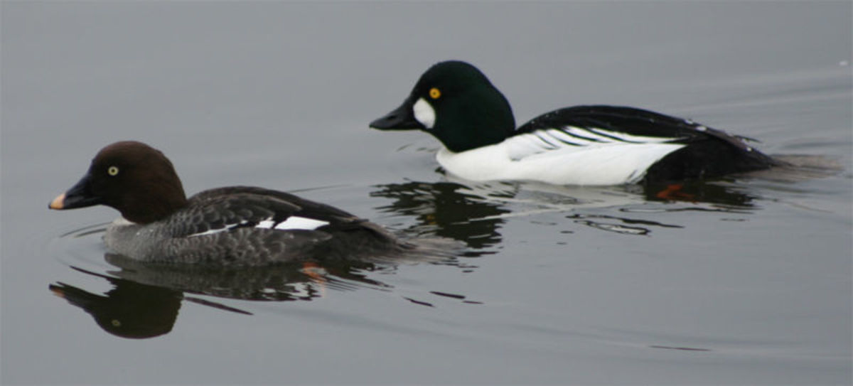The drake (right) has a black and white plumage, while the duck (left) has a brown and white plumage.