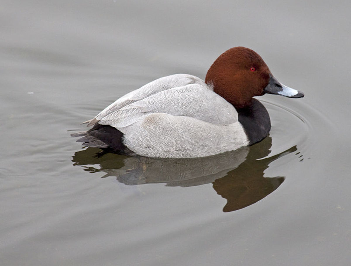 The drake's brick red head, black breast and grey back are distinctive.