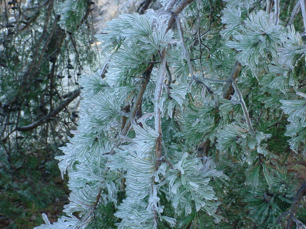 Ice coated pine branch.