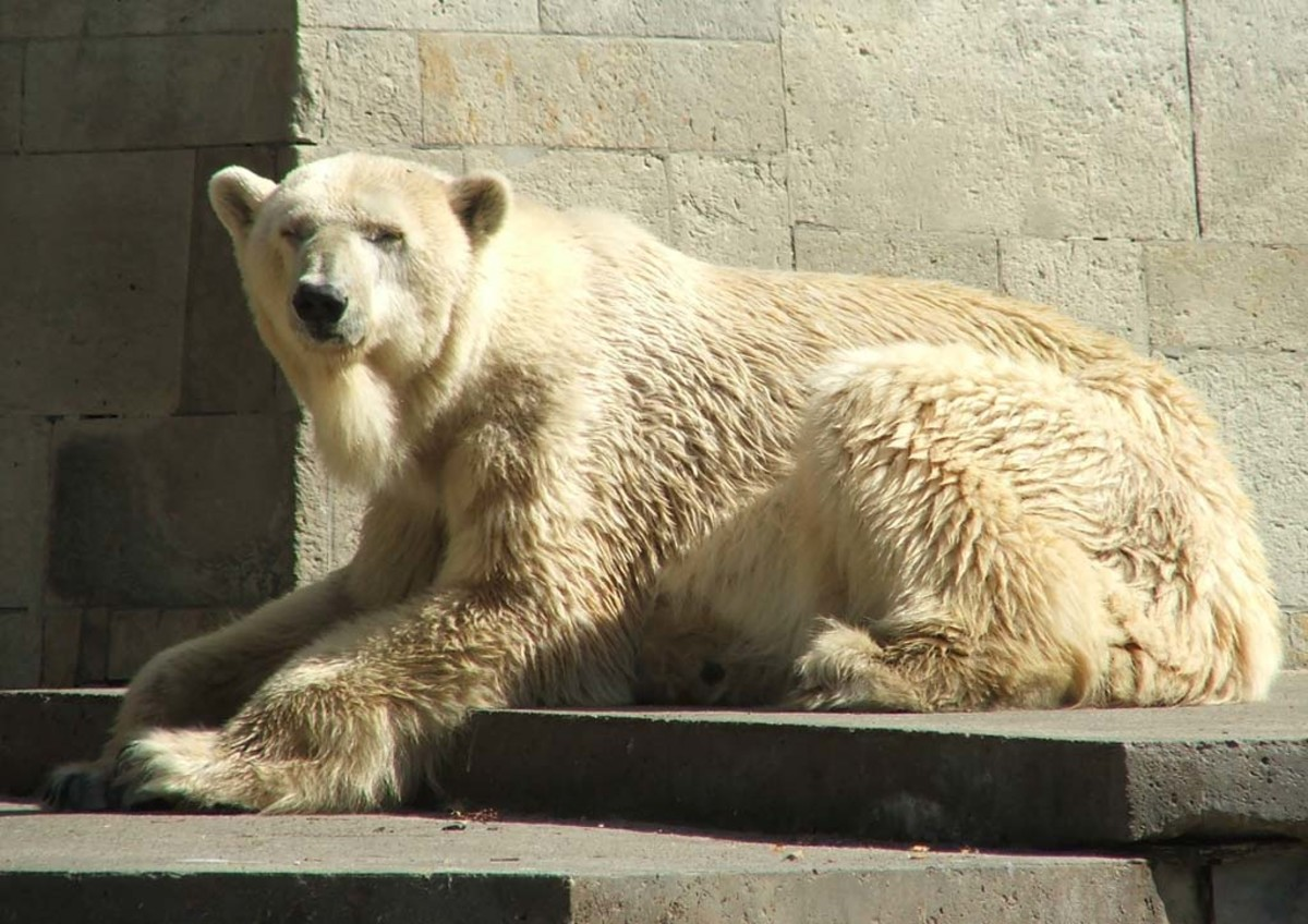 Polar bear with what appears to be yellowish fur, or is it?