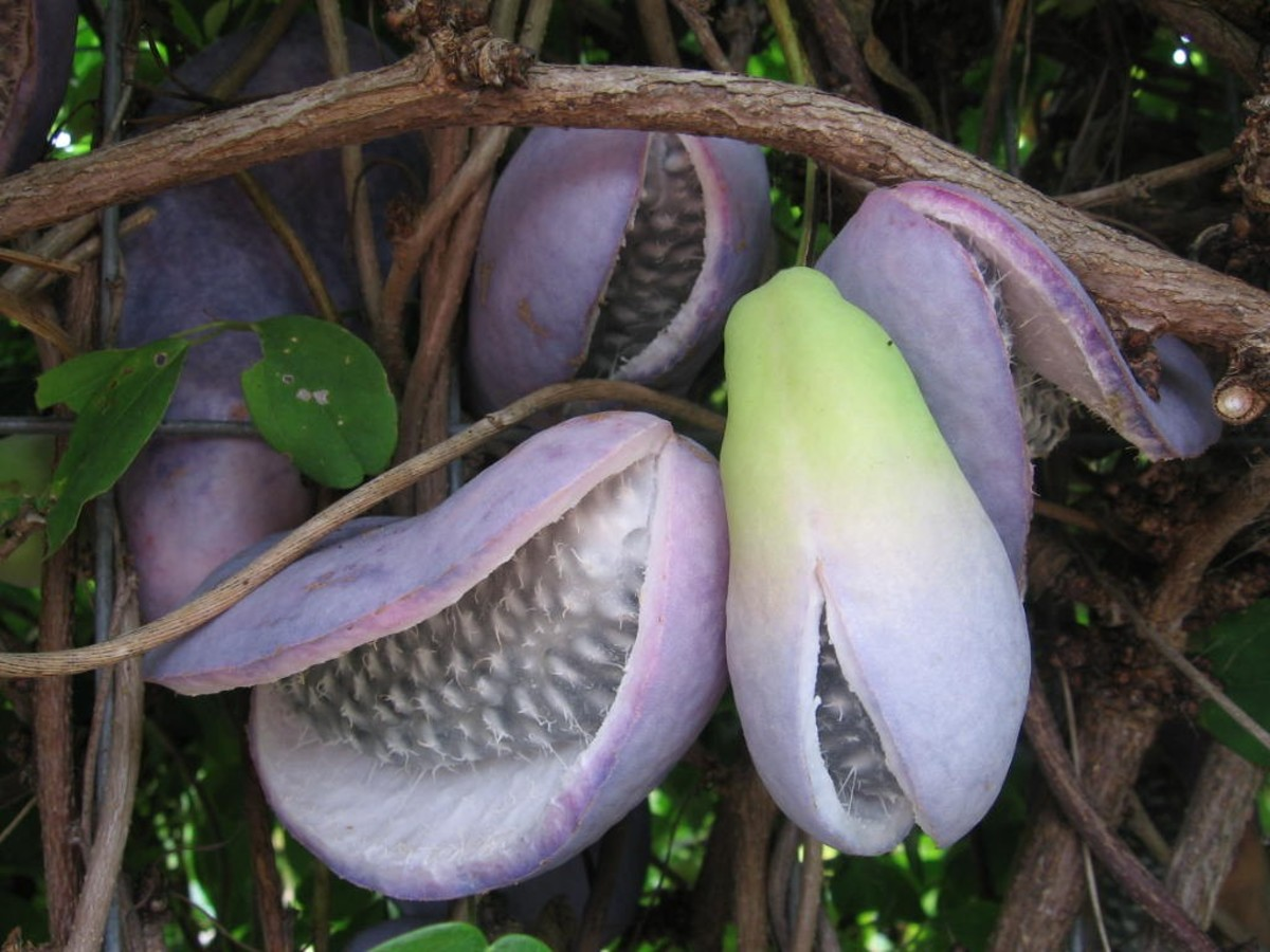 Akebia fruits. Have you seen this? If not, then it's unusual.