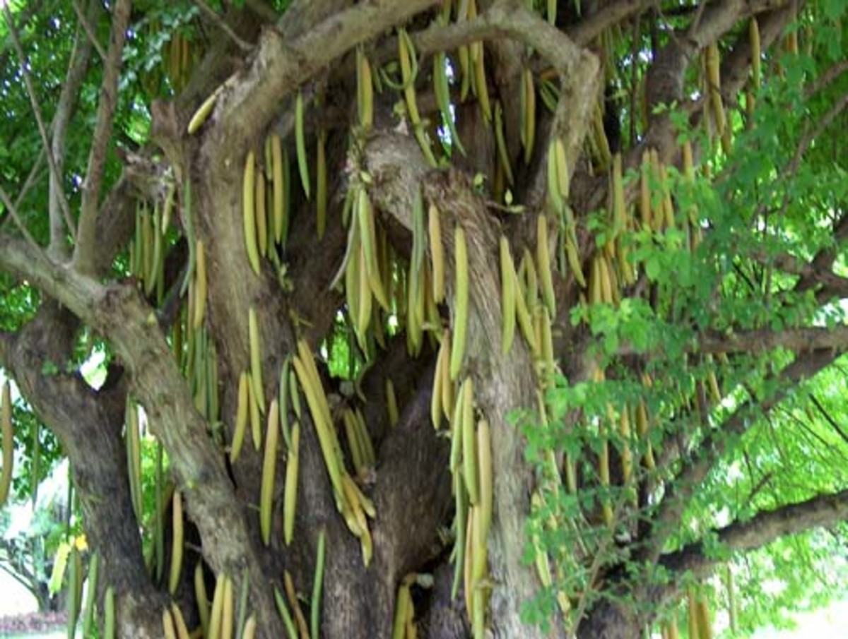The candlestick tree