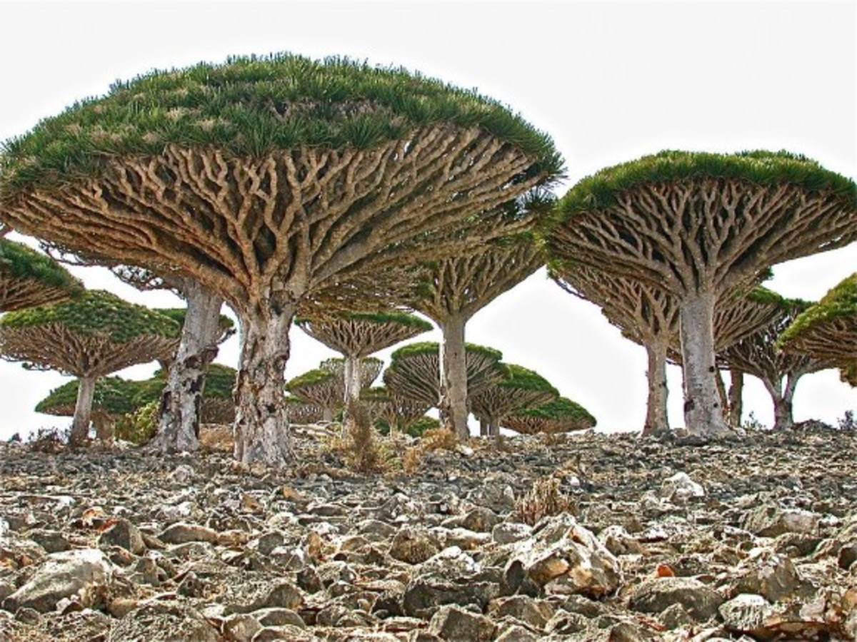 Dragon's blood trees