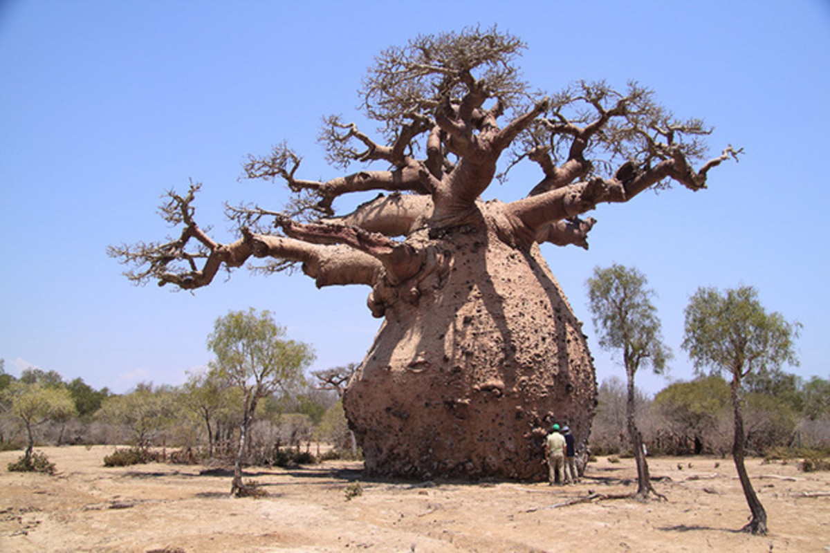 A pregnant baobab tree? No. There's no baby trees inside, Baobab trees stores water to use for dry weathers.