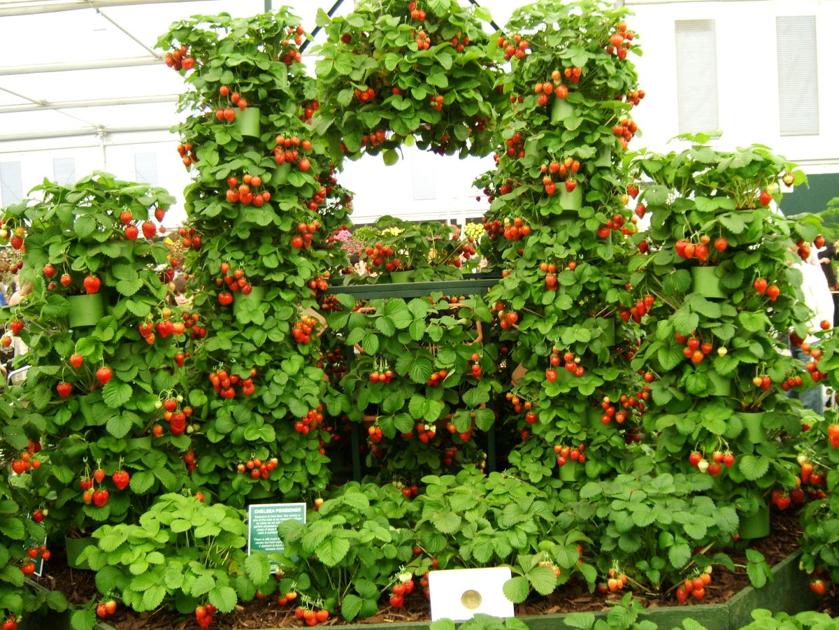 creative strawberry planting at the Chelsea Flower Show, England.