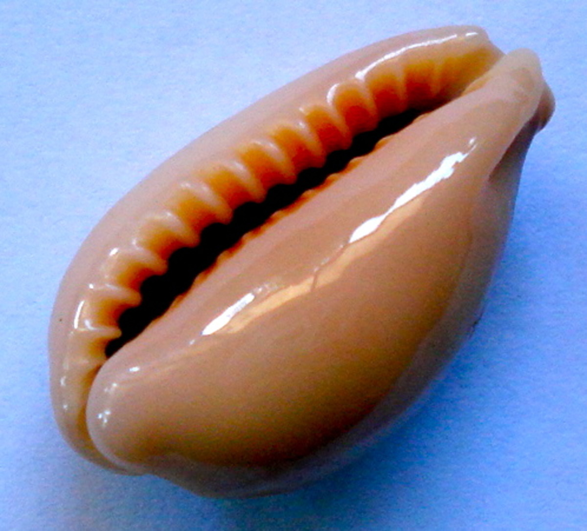 Underside of the Wandering Cowrie