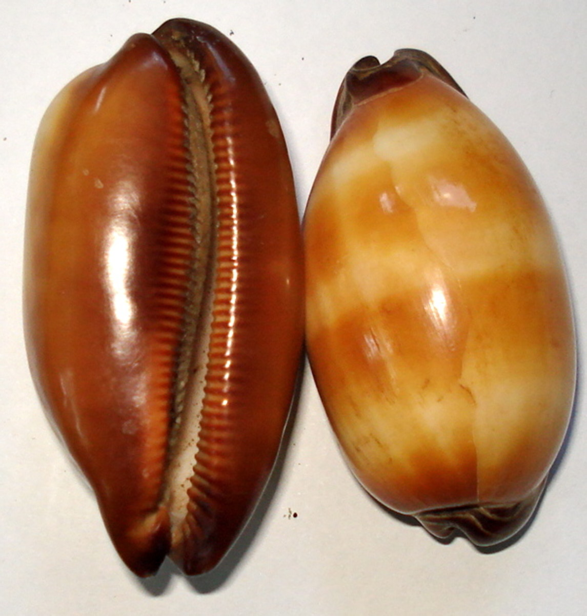 Mole Cowrie (Cypraea talpa L.)