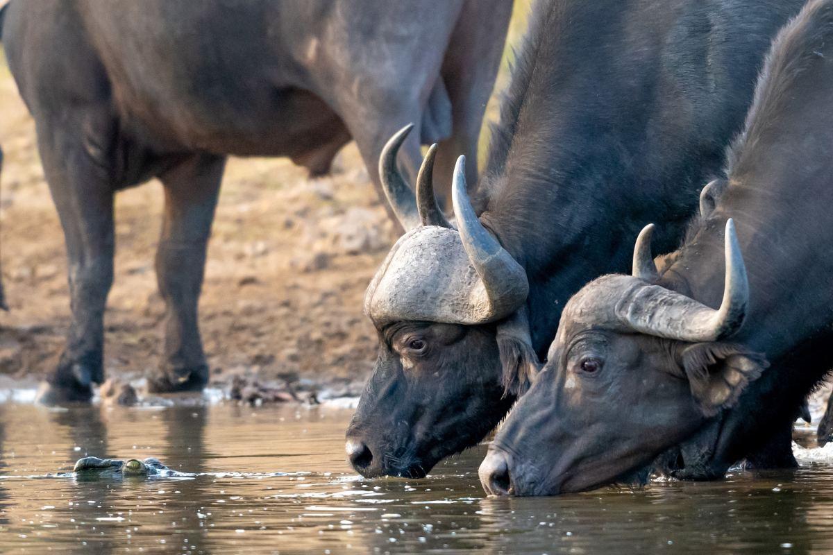 Cape Buffalos drinking.