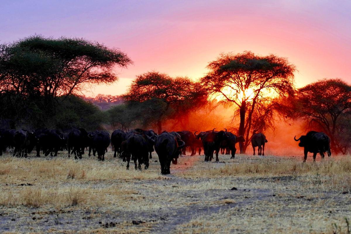 A herd of Cape Buffalos
