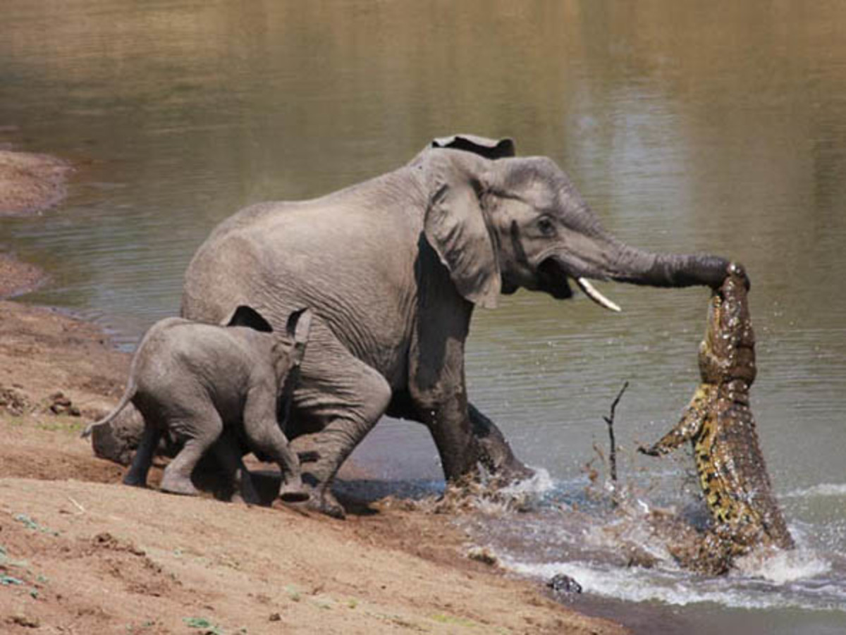 Nile crocodile pulling a young elephant.