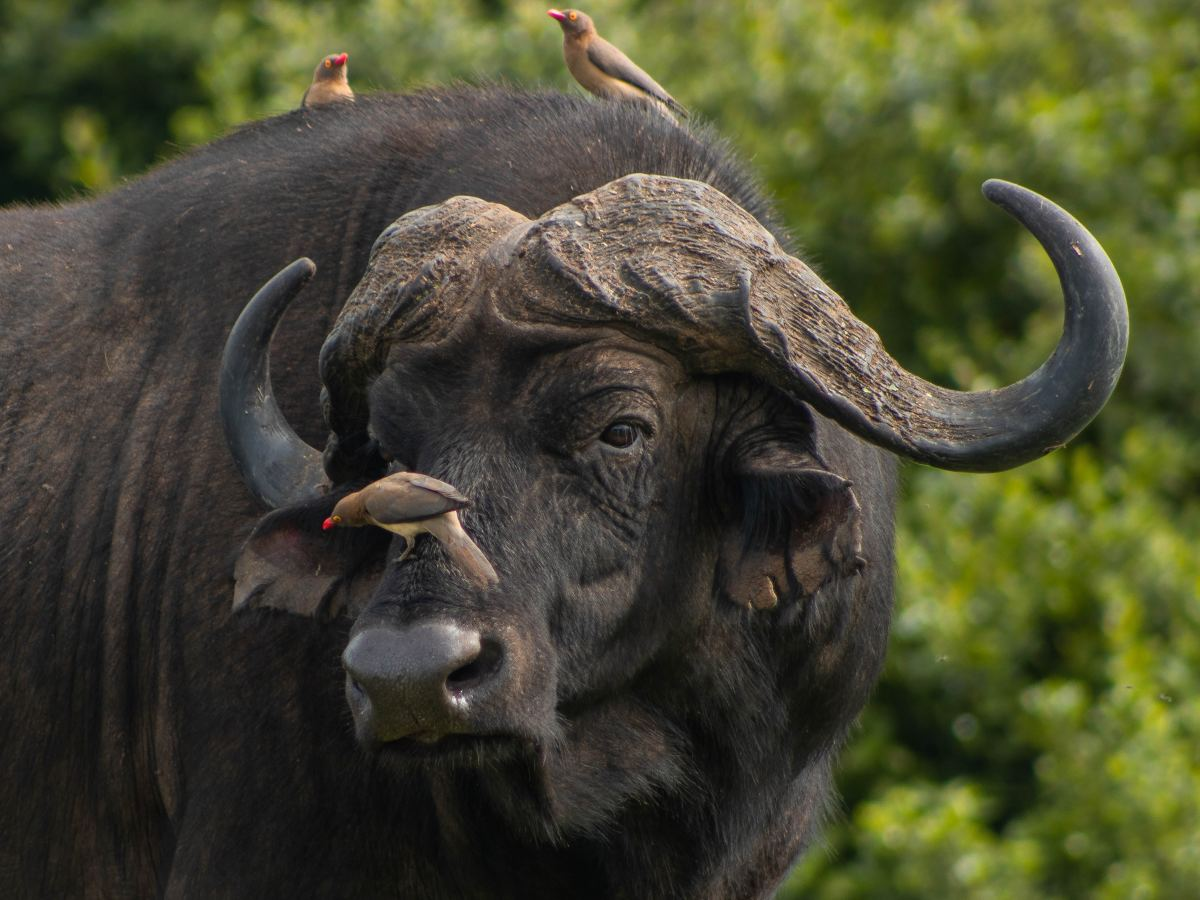 Birds resting on a Cape Buffalo's head.