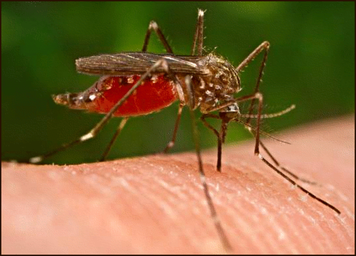 A mosquito biting a man.