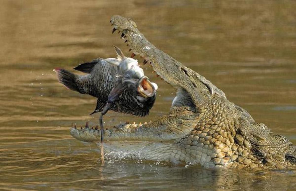 Nile crocodile eating a fish.