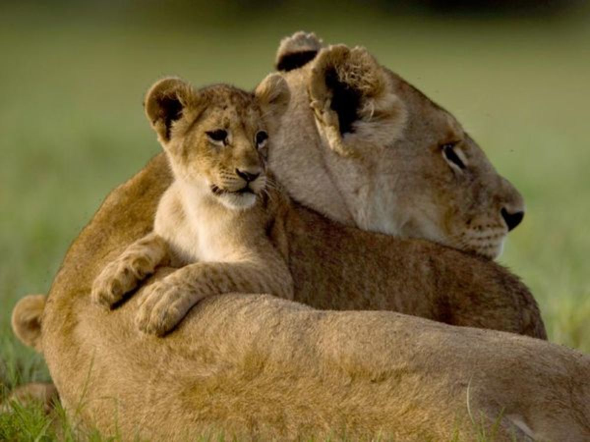 A lion cub with its mother.