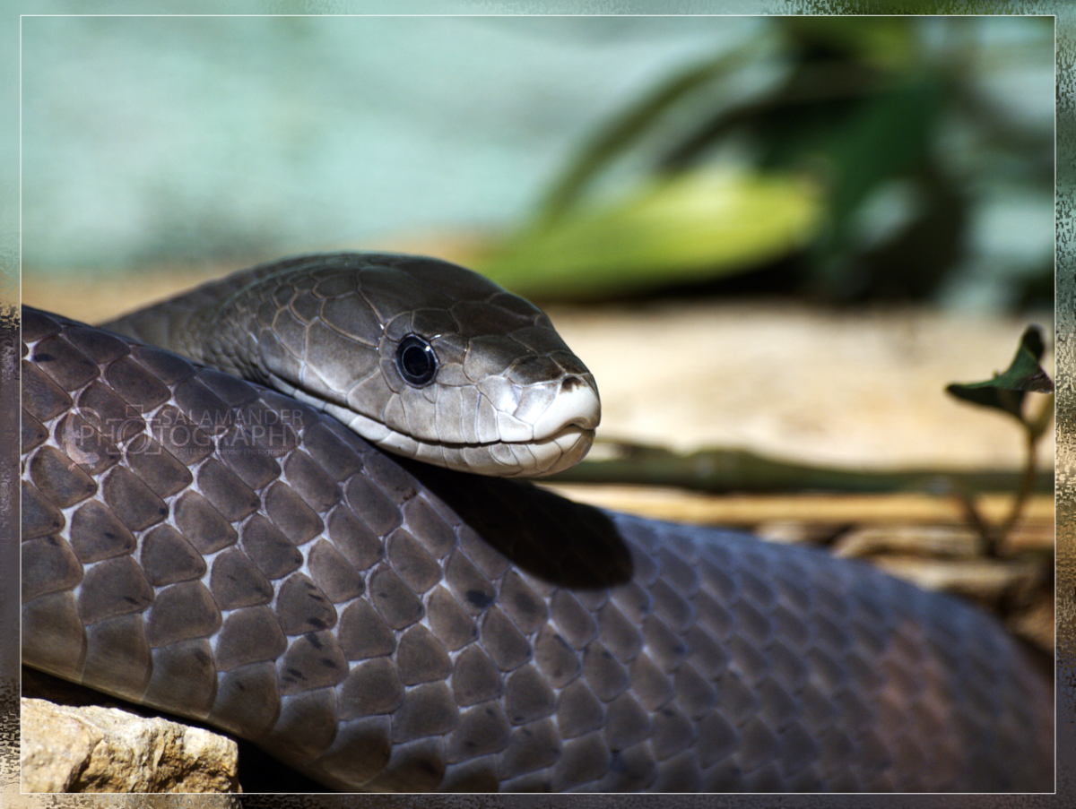 Black Mamba's deadly beauty