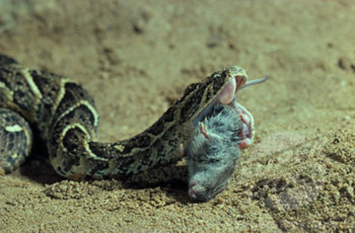 A Puff Adder eating a rodent.