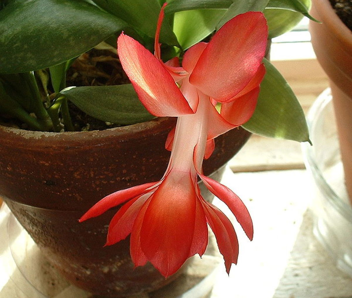 DECEMBER NATURE NOTES - How to Grow and Care For a Holiday Cactus