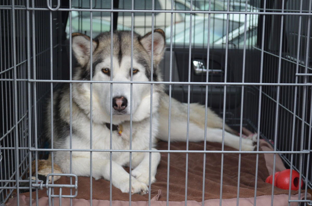 How To Travel With Malamutes