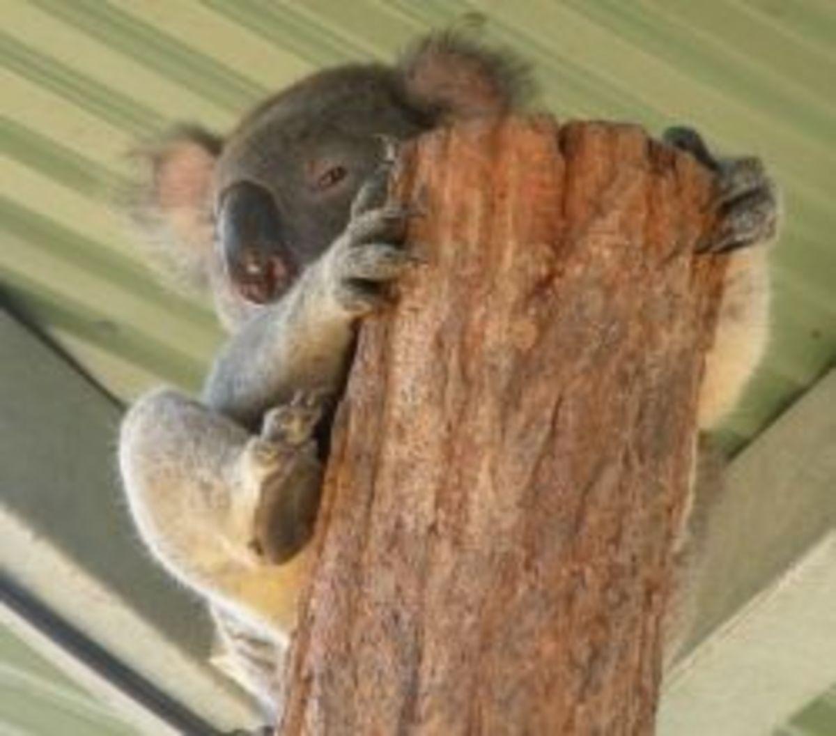 koalas-sleepy-critters-but-still-adorable