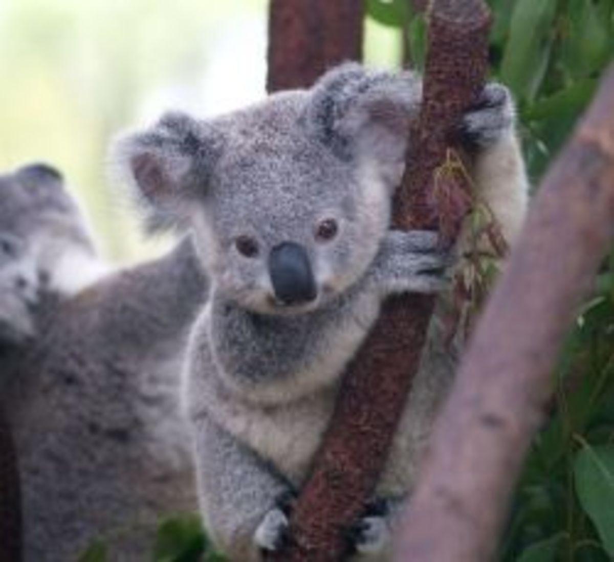 Cuddly Koalas