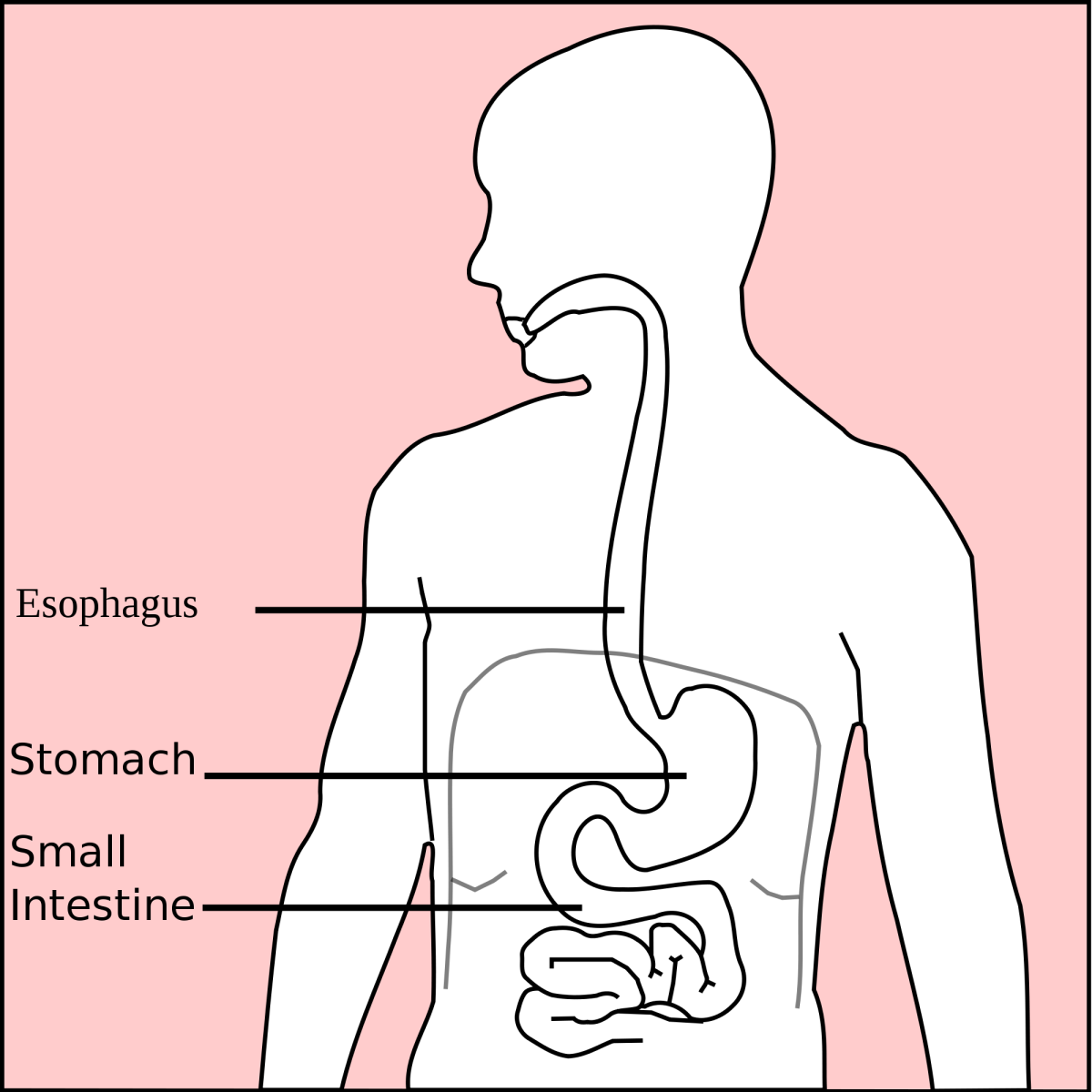 The stomach is an organ of digestion between the esophagus (food pipe) and the small intestine.