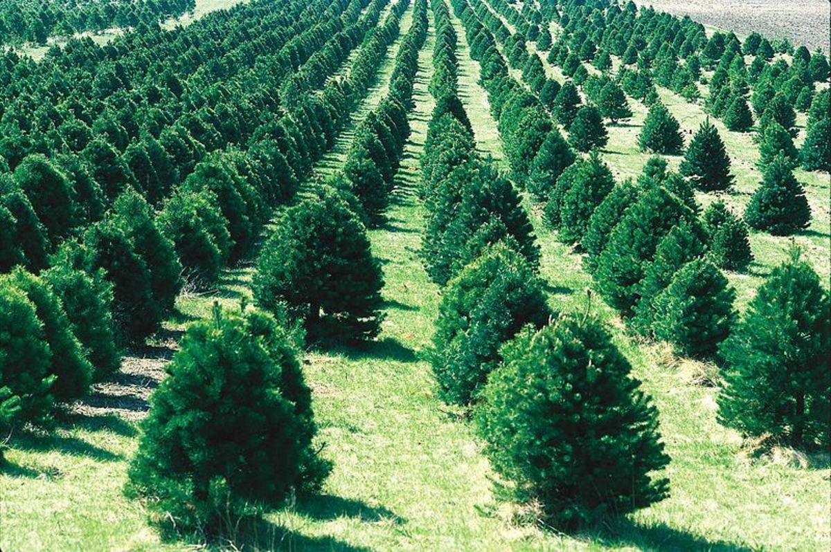 Christmas Tree Farm in California