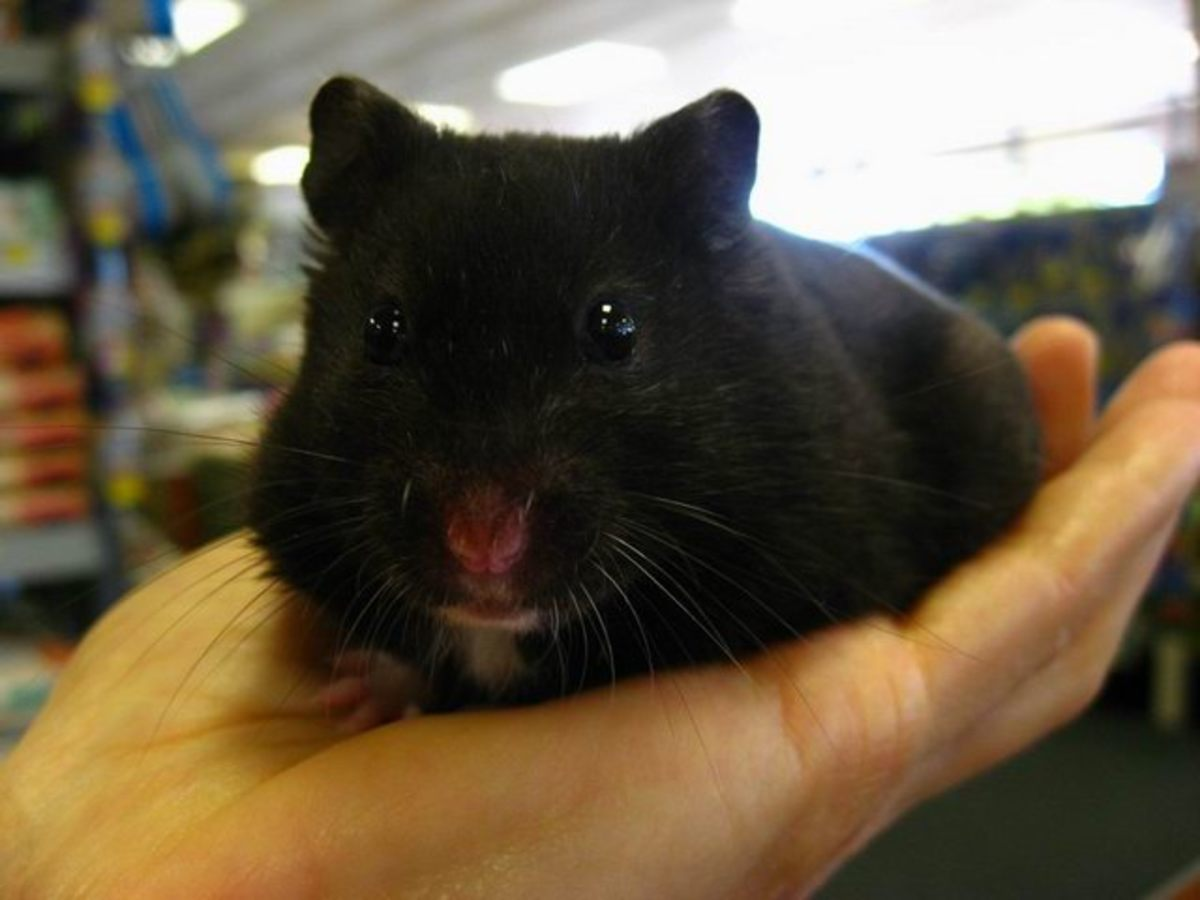 Black Bear Hamsters which is a color phase of Syrian Hamsters