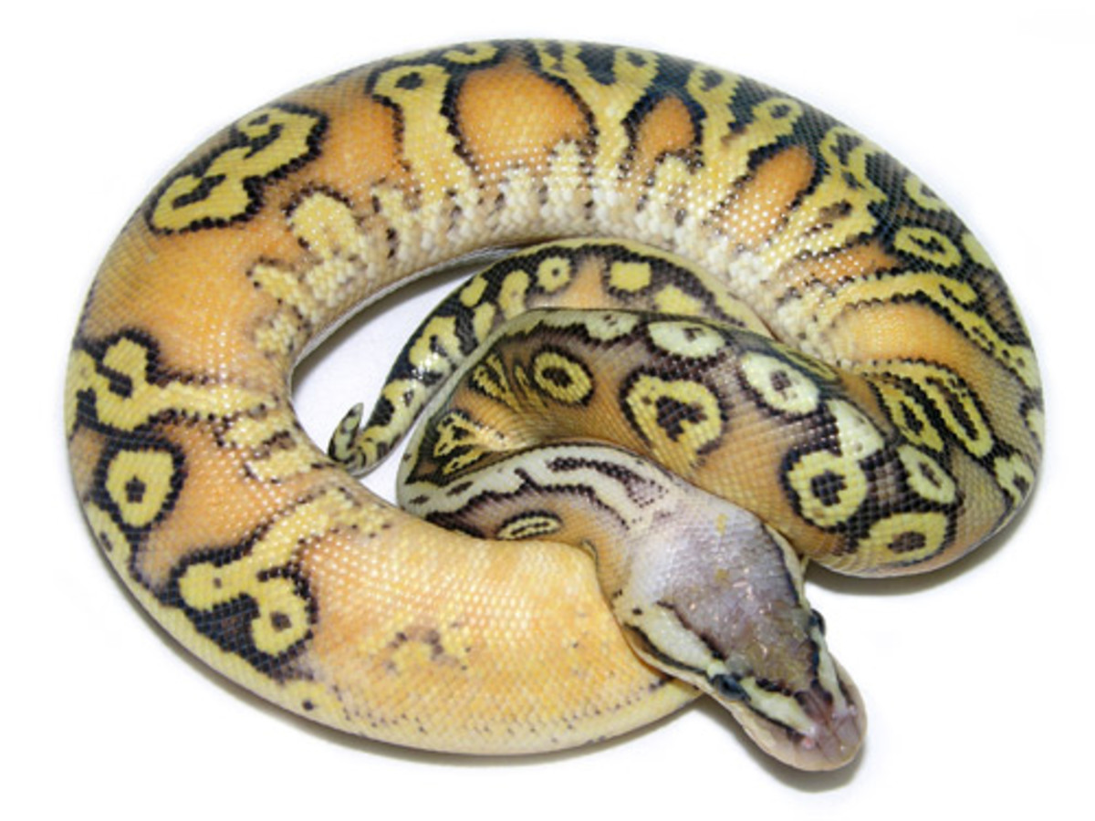 Here is one of the color morph phases of Ball Pythons created through selective breeding by breeders raising the snakes in captive breeding programs.