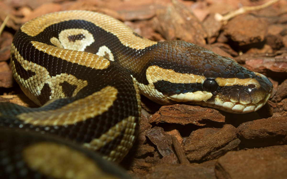 Here is another nice specimen of a Ball Python in this photo.