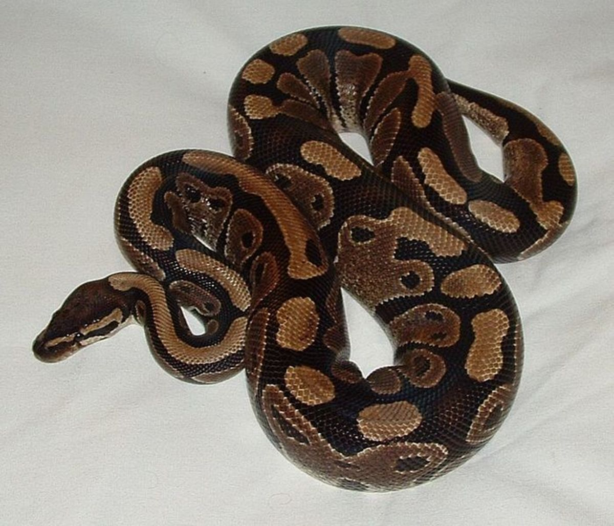 In this photo is a very nice Ball Python specimen named Lucy.