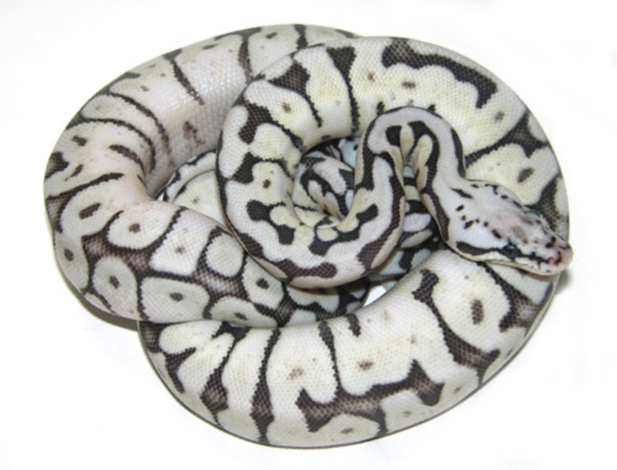 In this photo is another beautiful morph of the Ball Python created through selective breeding. You will have to pay more for one of these morphs.