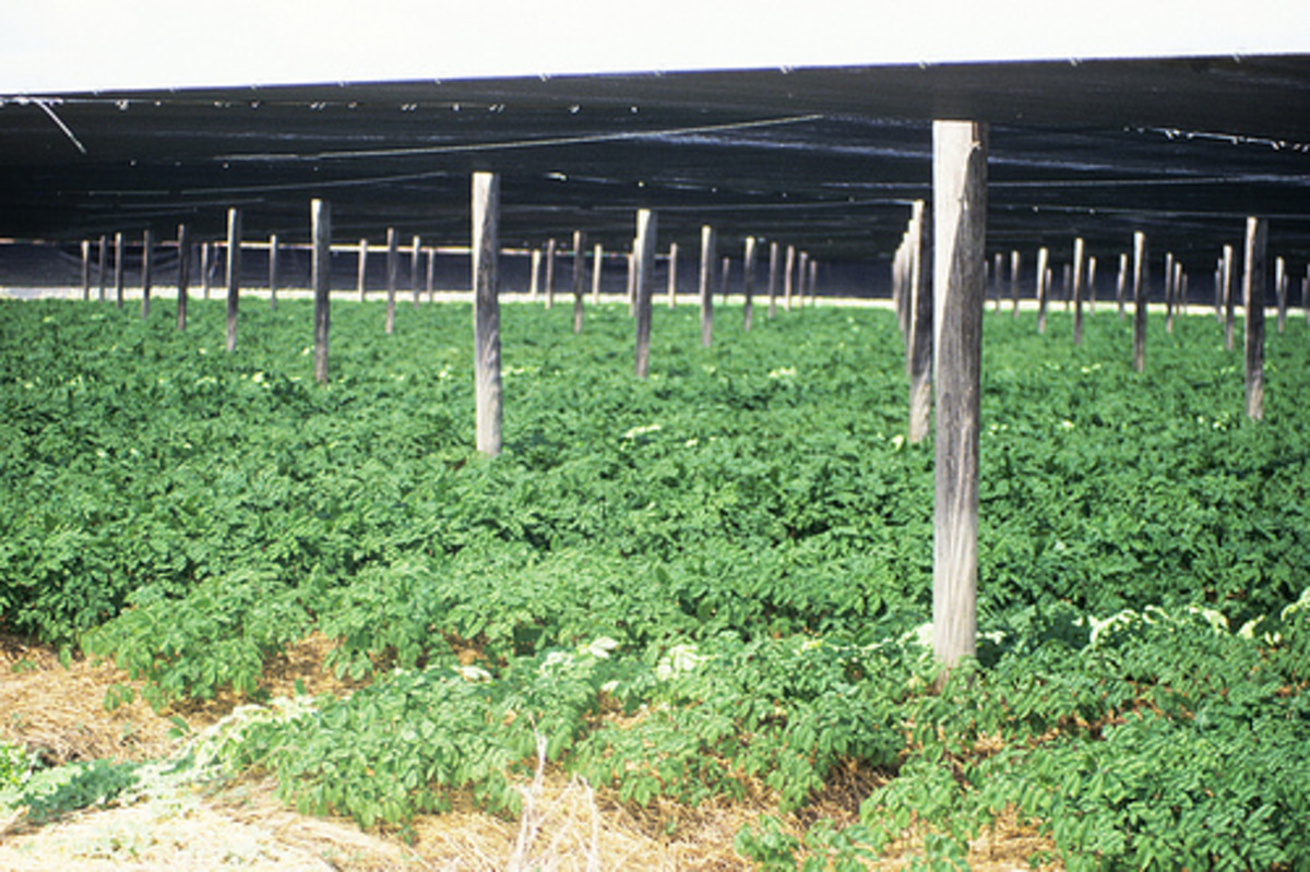 Ginseng Growing Operation
